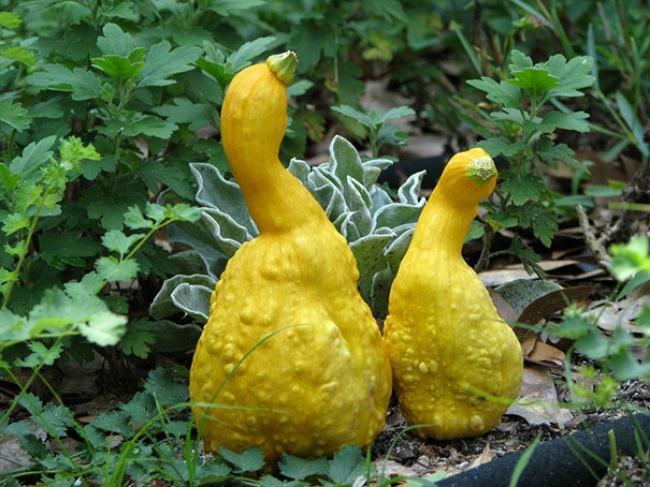 Des fruits et des légumes aux formes étranges.
