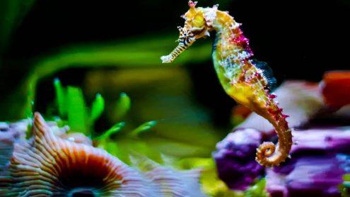 L'hippocampe, une magnifique créature des mers.