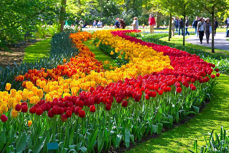 La tulipe, la belle fleur Hollandaise