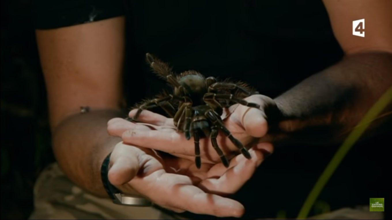 L'araignée Goliath, la plus grosse dans le monde.