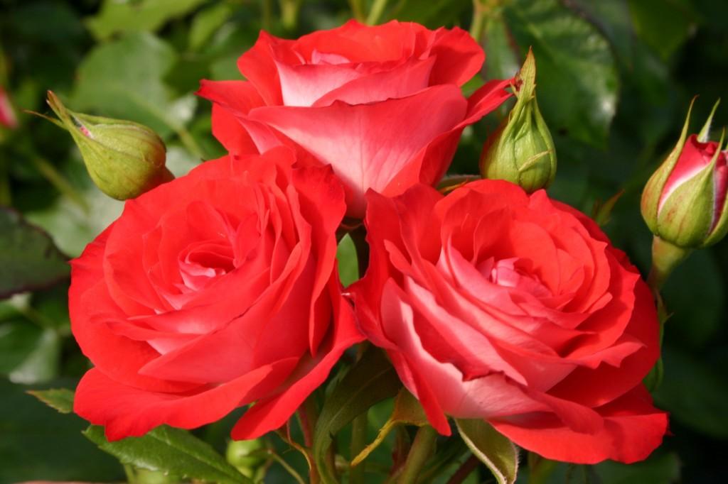 Les roses sont de superbes fleurs!