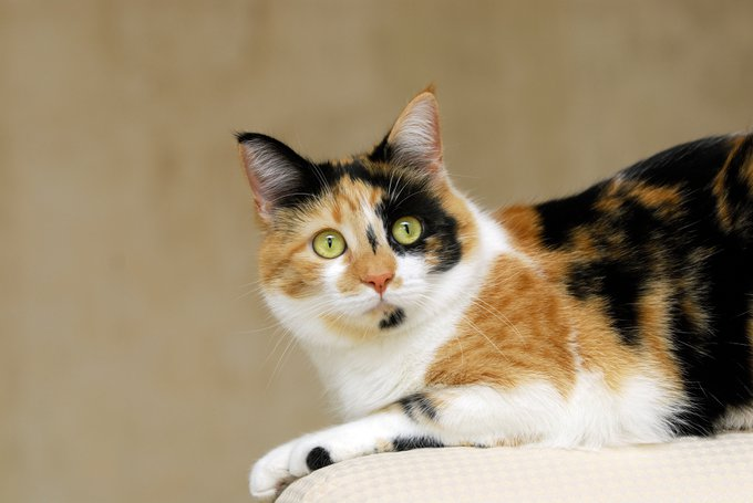 Le chat Calico, une race de chats femelles.