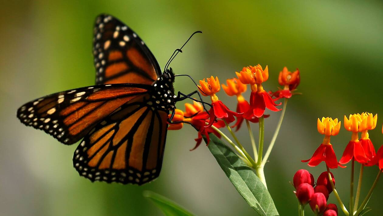 Des papillons de toutes les couleurs.