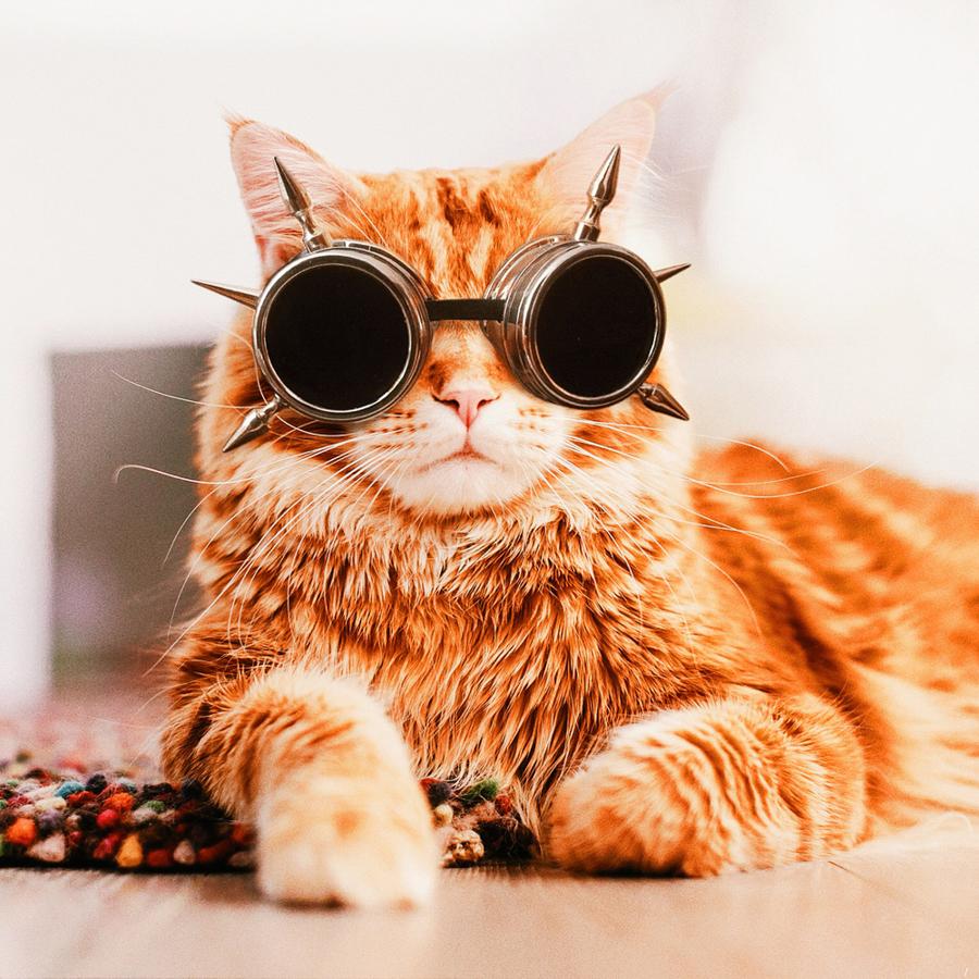 Kotleta, le chat de Kristina Makeeva.
