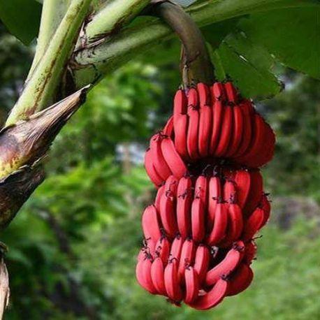 La banane rouge.