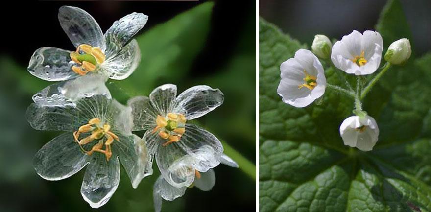 La fleur squelette, une étrange petite fleur blanche.
