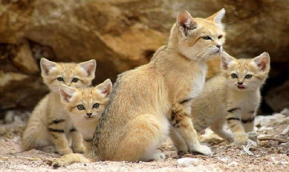 Le chat des sables, un animal adapté au désert.
