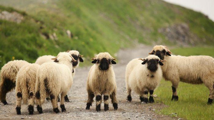 Le Nez noir du Valais, un mouton adorable.