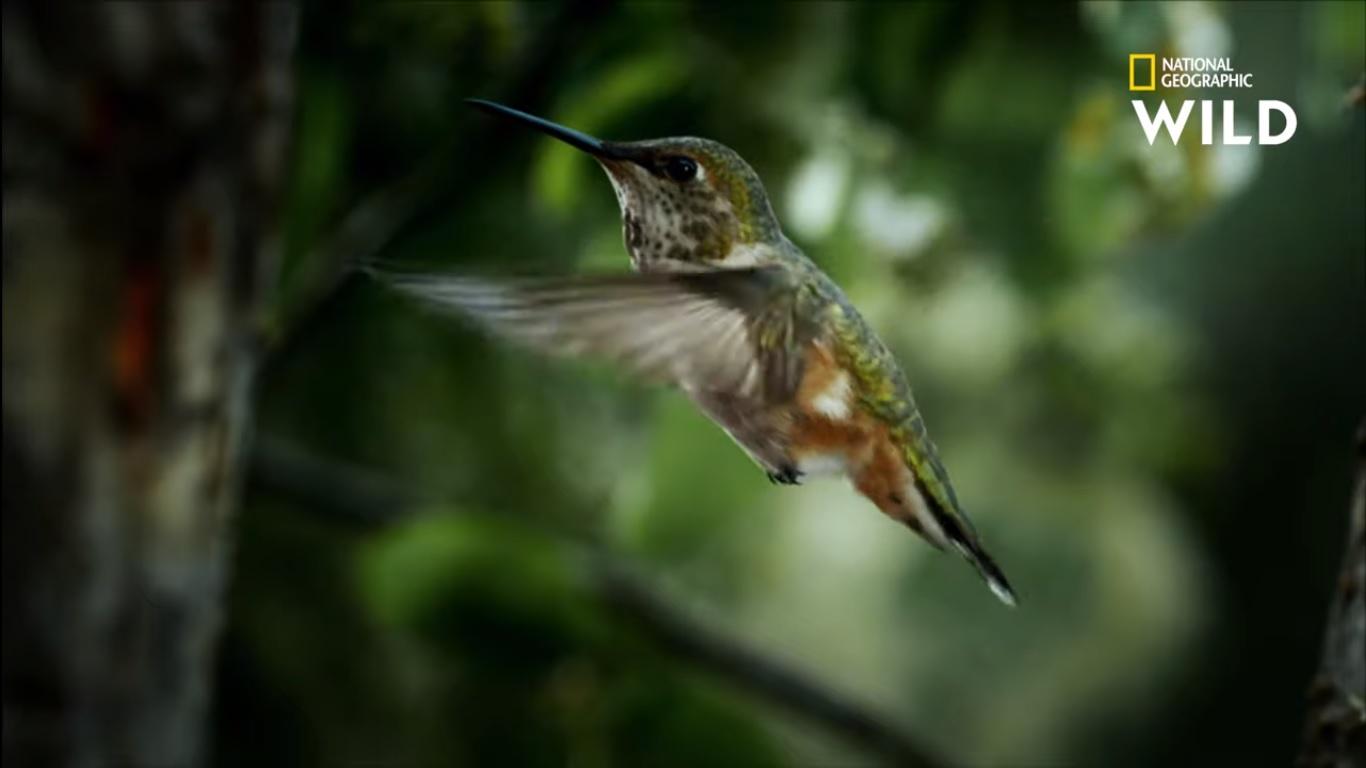 Un Colibri malin en Alaska.