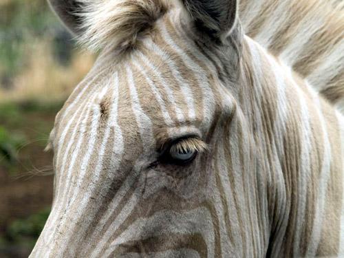 Zoé, un zebre albinos.