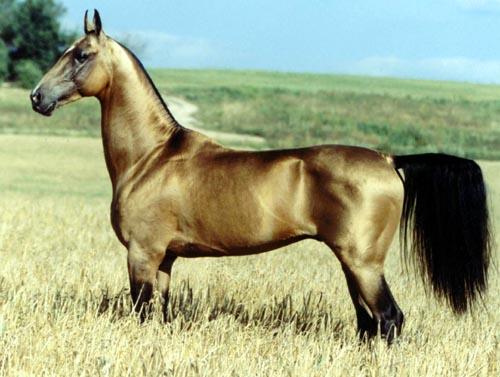 L'Akhal-Téké, un superbe cheval.