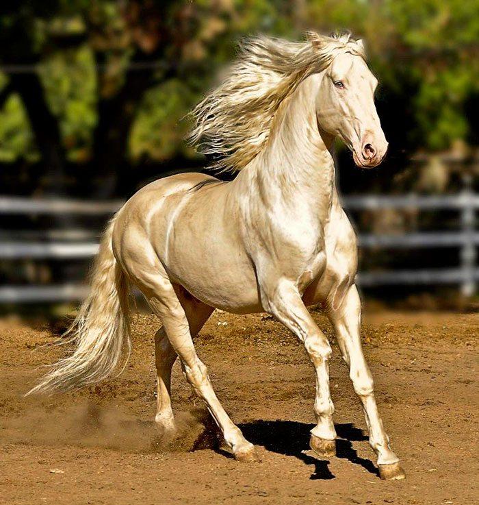 L'Akhal-Téké, un magnifique cheval.