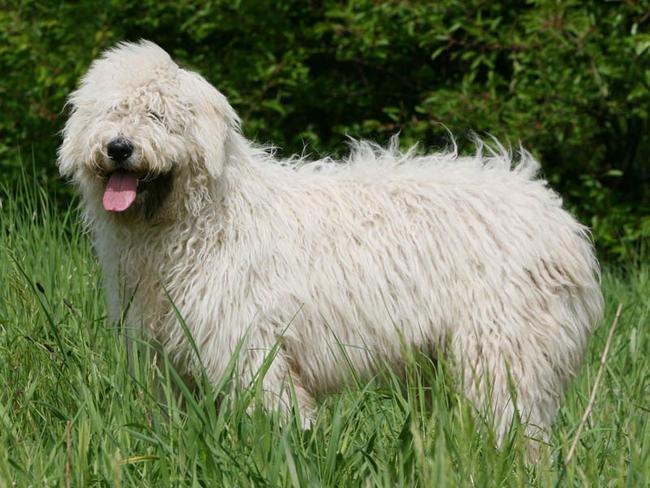 Le Komondor, un superbe chien aux origines Hongroises.