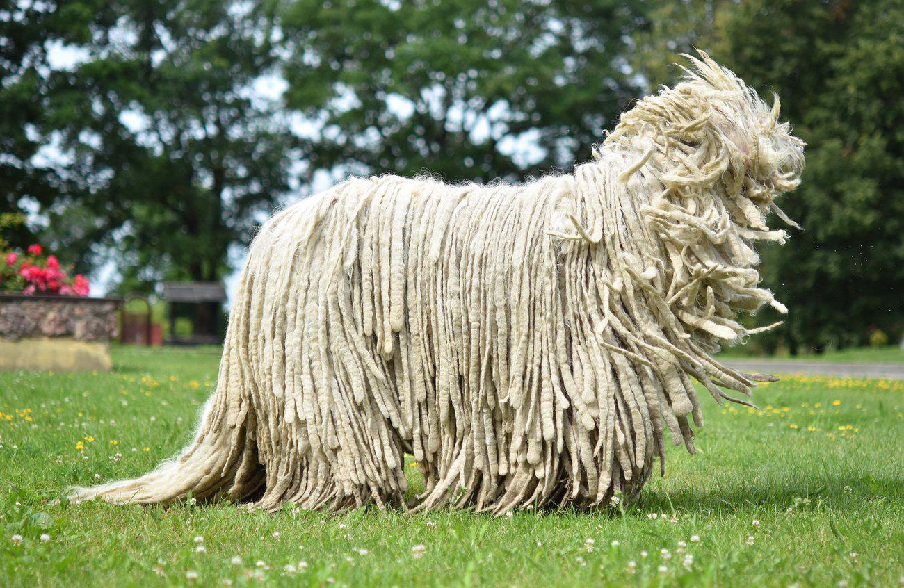 Le Komondor, un magnifique chien trop poilu