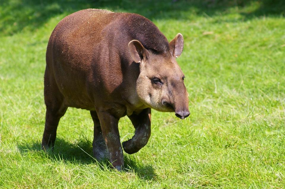Le Tapir.