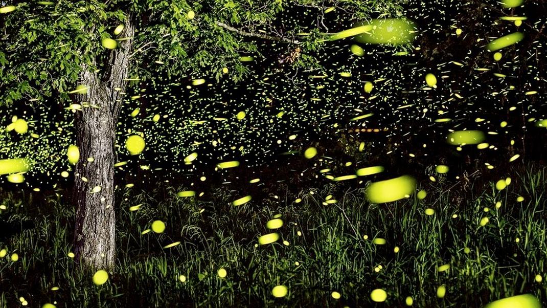 Les lucioles, ces insectes volants et lumineux.