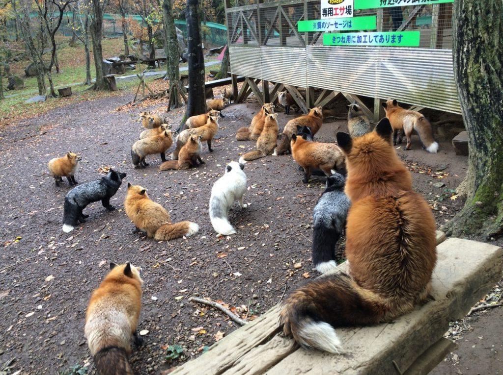 Zao Kitsune Mura, un village peuplé de renards.