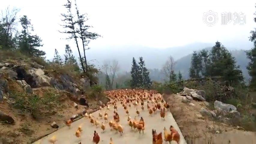 L'appel à manger pour des poules en Chine.