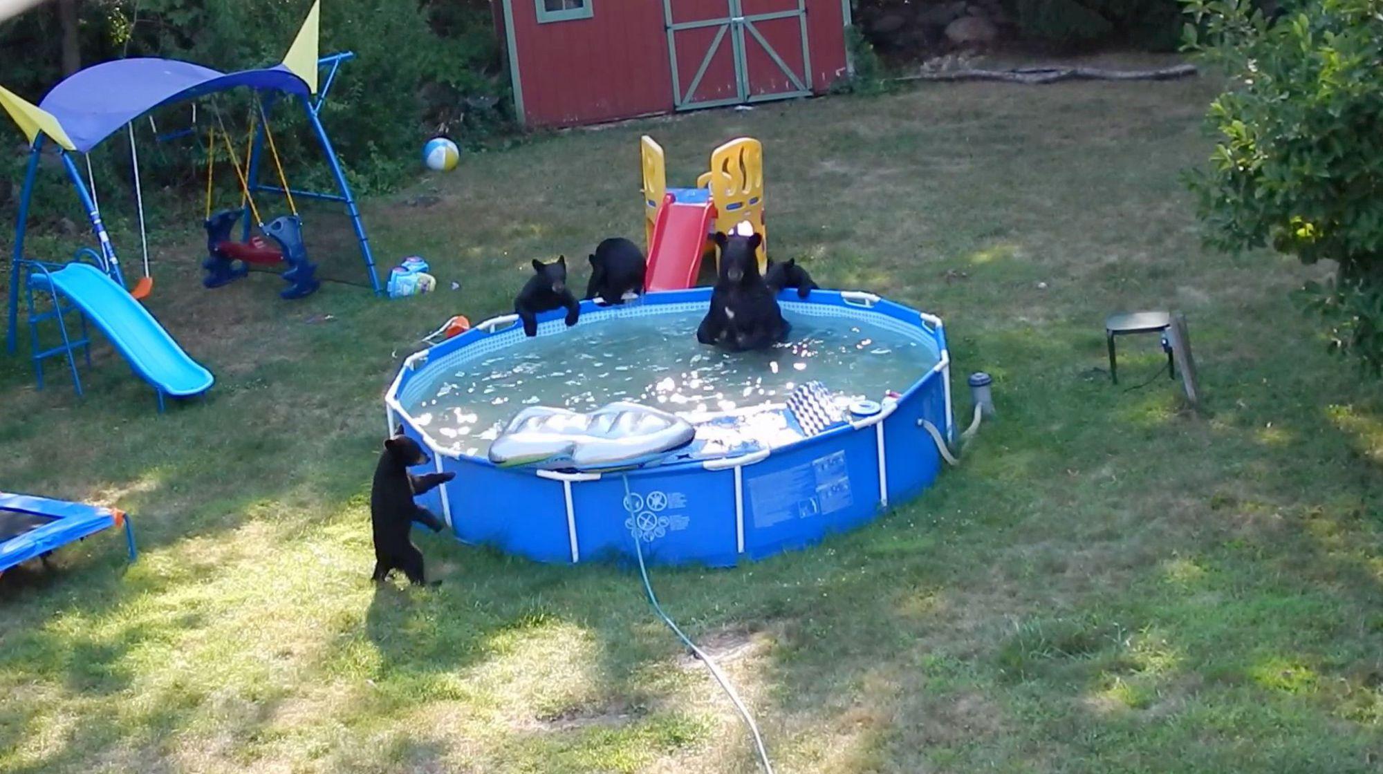 Une famille d'ours dans la piscine du jardin.