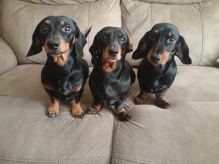 Le teckel, un chien trop mignon