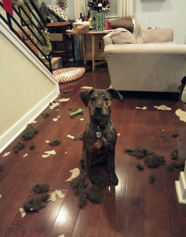 Le chien sait quand il fait une bêtise.