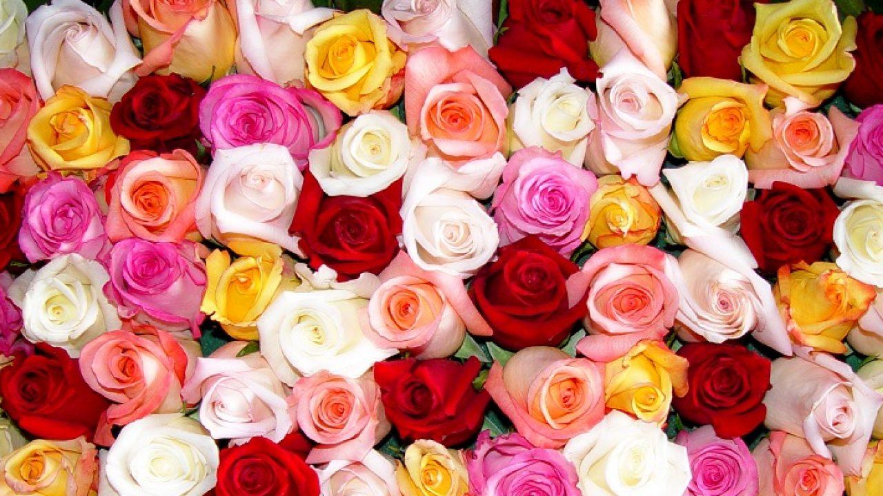 Musique de Giovanni Marradi et des roses toutes jolies