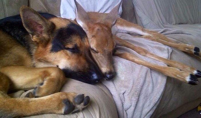 Un chien sauveur de faons, une belle histoire