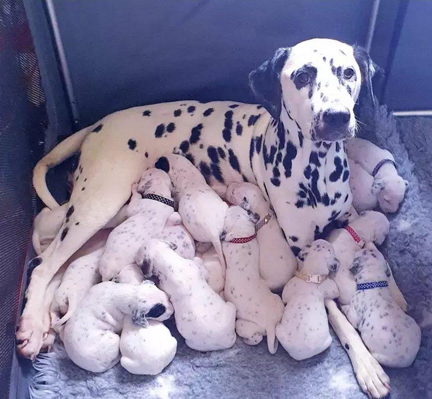 Une portée de 18 chiots, un record pour cette maman Dalmatien