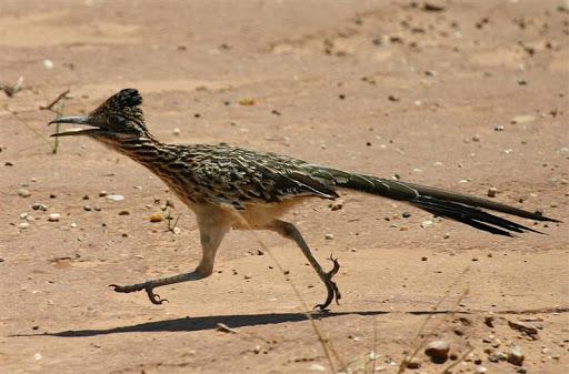 Le Coucou Coureur, l'oiseau tueur de serpents.