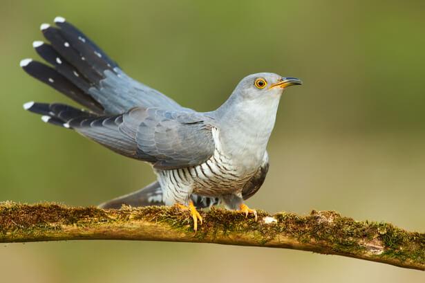 Le Coucou, un incroyable oiseau malin.