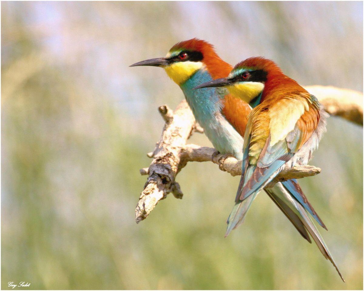 Le Guêpier, un oiseau coloré.