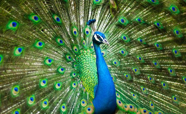 Le Paon, un oiseau majestueux et spectaculaire.