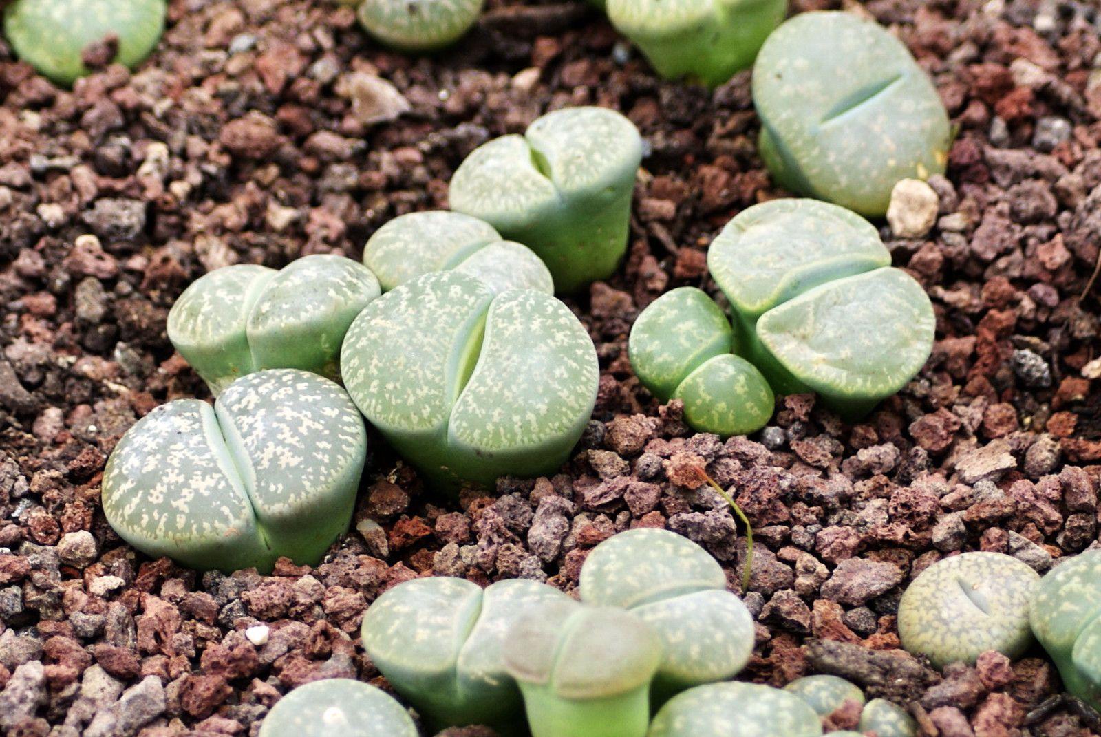 Les plantes cailloux.