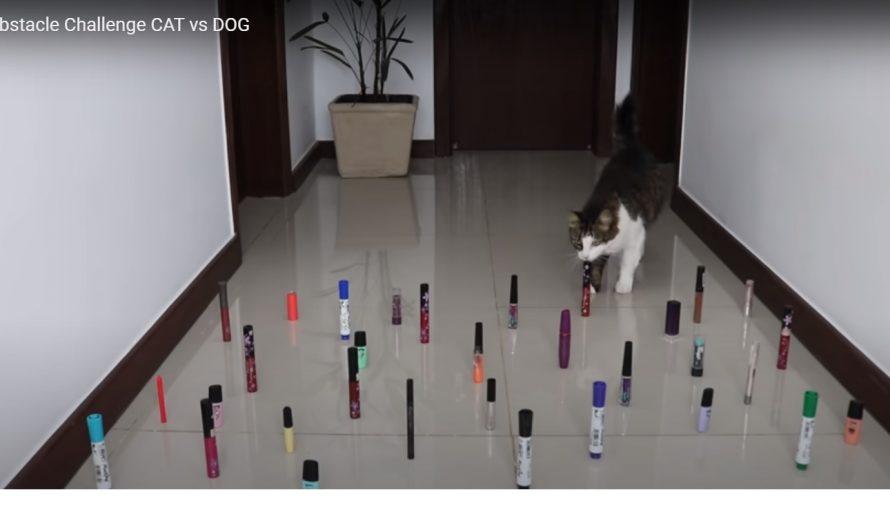 Un obstacle challenge pour les chiens et les chats (vidéo)