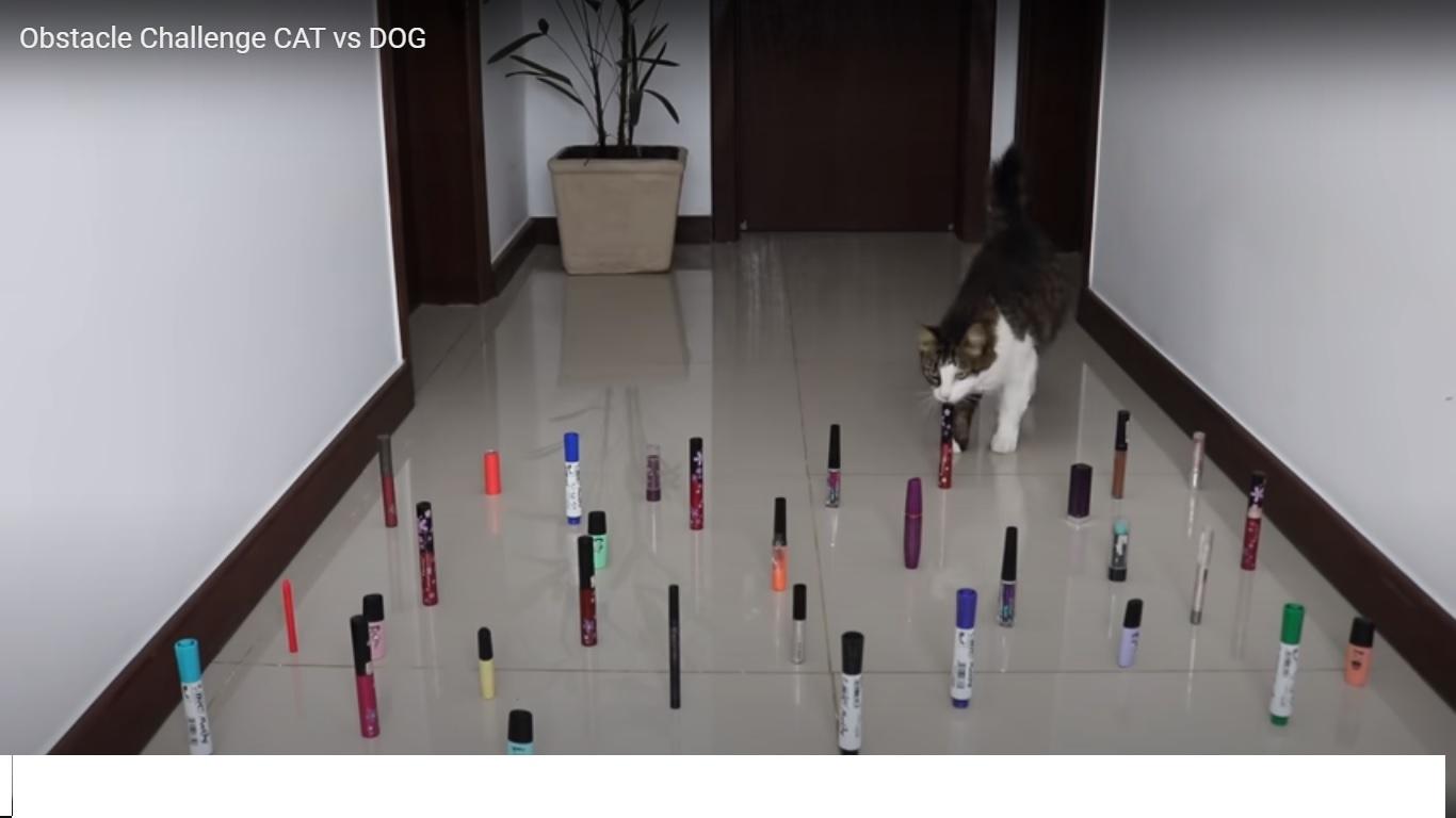Un obstacle challenge assez drôle avec un chat et des chiens