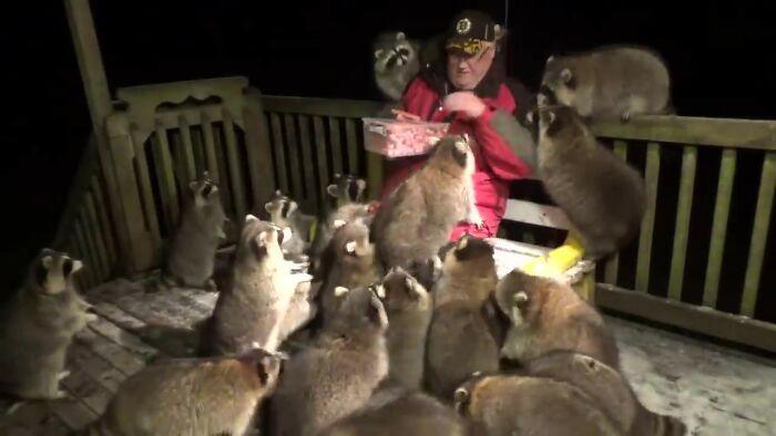 Des ratons laveurs rendent visite à un veuf