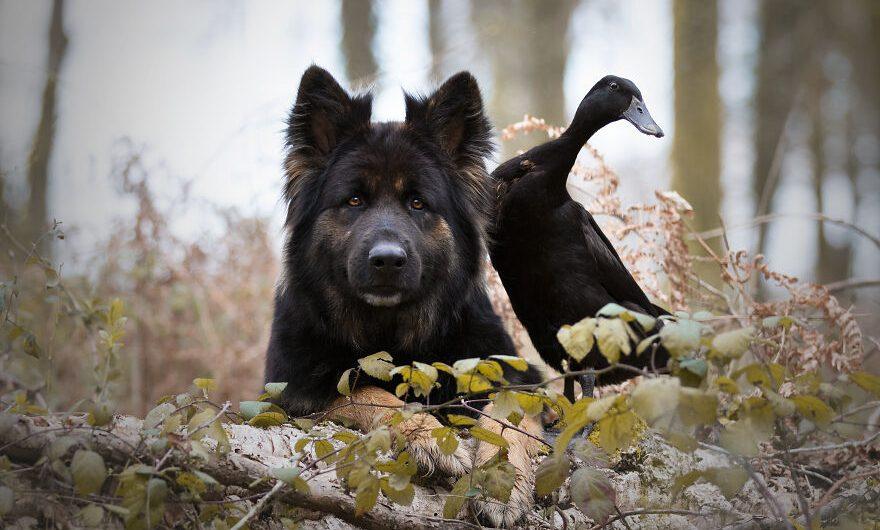 Un chien et un canard, en plus de deux pigeons